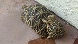 Star Tortoises doing the Wild Thing!
