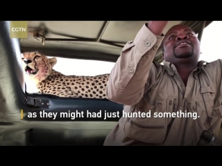 Tourists grab selfies with cheetah