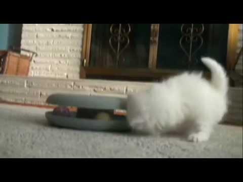 Котята (Я - пушистый беленький котёнок).