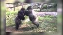 Зверская драка горилл! 18