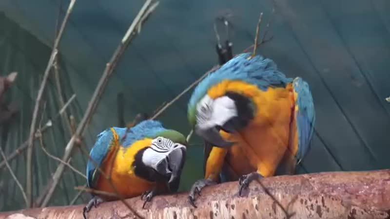 сине-желтые ара