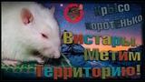 (Р) Крысы метят территорию. Вистарские вистары и ёжики в тумане. (Fancy Rats)