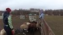 Знакомство с овцами 1