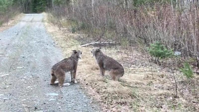 Рыси кричат друг на друга