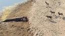 أنظر مالذي وقع للكلاب البرية .. مدهش ! Wild Dogs vs Crocodile
