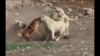 Little dog rescues its friend kangal LOL
