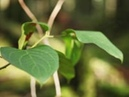 Green-Soja