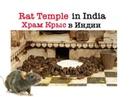 The Rat Temple in India Храм Крыс в Индии Karni Mata Шри Карни Мата