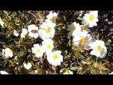 Весна в Испании, цветущие кустарники, олива европейская, красивая природа и музыка, 28042018