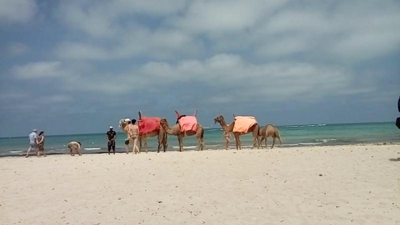 Остров Джерба. Северная Африка. 7 мая 2018. Верблюды.