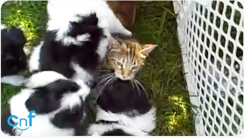 Dog Pile on Cat | When Puppies Attack!