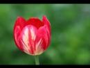 Вредители тюльпанов нарциссов и гиацинтов