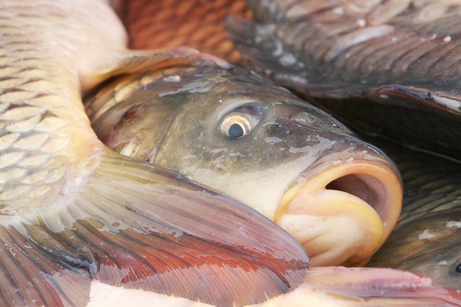 Руководство Гольшанского крахмального завода считает, что обвинять предприятие в гибели рыбы пока преждевременно