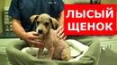 Облысевший щенок вновь стал прекрасным.Спасли бездомного щенка.Ветеринарное ранчо