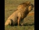 Гнома молодой тигриный лев