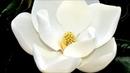 Magnolia Blossom Acrylic Painting LIVE Instruction