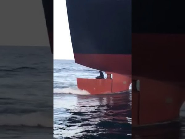 Seal Hitches a Ride on a Ship Rudder - 988303