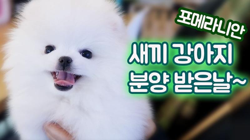 포메라니안 새끼 강아지 입양 받았어요 (디바제시카 생일선물) 강아지 유튜482