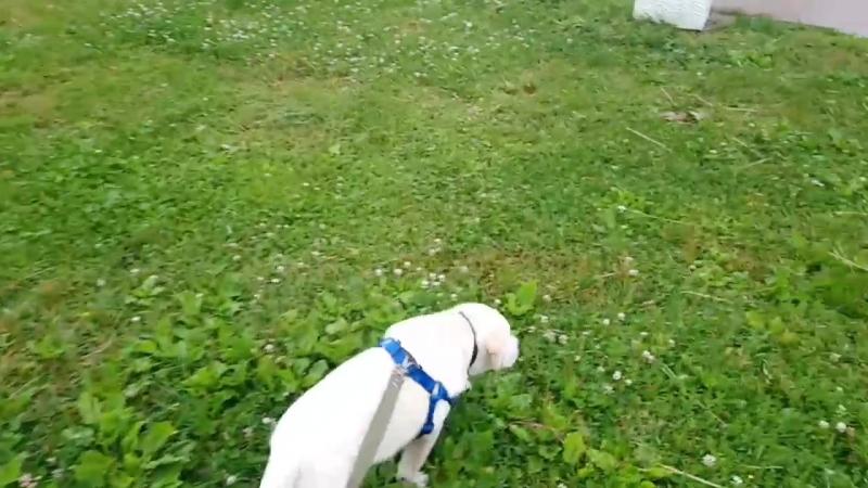 Ройс на прогулке