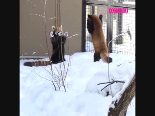 Красные панды радуются снегу.