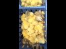 Gatito con pollitos