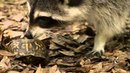 Коробчатая черепаха LCB5_Educational movie is used on batrachos