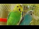 БОЛЬШОЙ VLOG Волнистый попугай купается поет кайфует под солнышком