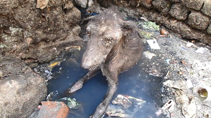 Спасение умирающего в канализации старичка / О собаке, человеке, и не только...