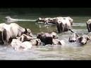 Búfalos salvajes en el rió en Costa Rica