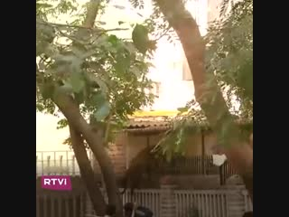 Леопард терроризирует город в Индии
