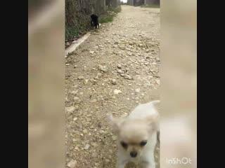 Первое знакомство с улицей щенки чихуахуа