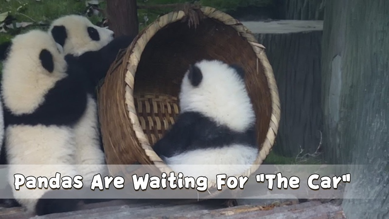 Pandas Are Waiting For The Car iPanda