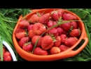 Во саду ли в огороде Как Получить Крупную Ягоду Уход За Клубникой Важные Шаги Весной