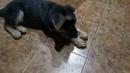 Щенок немецкой овчарки Арчи, вкусная косточка и кот Кузя (2,5 месяца)