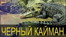 Melanosuchus niger Знакомимся с черным кайманом