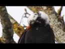 Чёрный дрозд с отклонением в окрасе