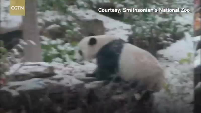 Гигантская панда по кличке Бэйбэй наслаждается первым снегопадом в Национальном зоопарке Смитзоновского института