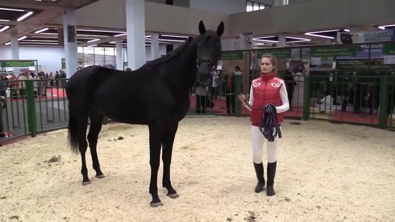 РВП жеребец Вообразимый на выставке Золотая осень-2018