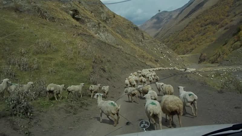 ну просто овцы!