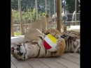 Я тигр. Я почти царь зверей. И у меня мячик