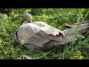 Мускусные утки - индоутки - шипуны!