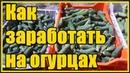 СУПЕР способ выращивания огурцов в открытом грунте Выращивание огурцов от рассады до сбора урожая