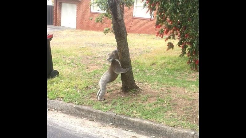 Koala Climb