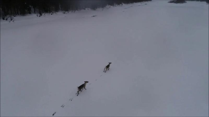 Дикий северный олень, лесной подвид