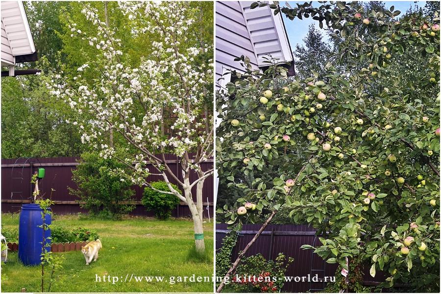 Подкормка яблонь осенью, которая увеличит зимостойкость и урожайность
