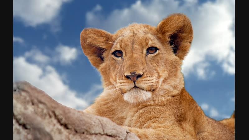 Молодой лев в осаде буйволов