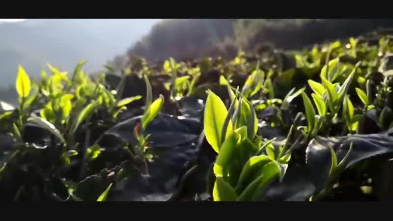 Пуэр, плантация чая