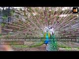 Павлин в красноярском зоопарке исполняет брачный танец