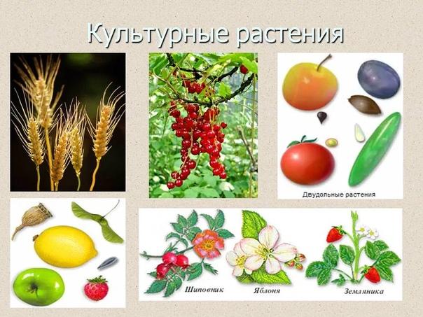 Разница между культурными и дикими растениями В процессе эволюции человечество постоянно переделывало мир под свои запросы. И выведение новых сортов растений один из способов этого воздействия.