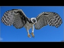 The Most Powerful Birds Harpy Eagles National Geographic Animals Documentary